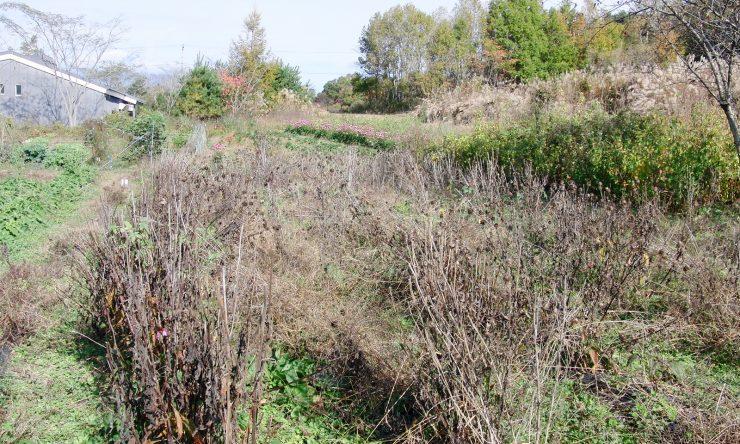 2011.11.08-第1南-エキナセア収穫直前。第1北にエキナセアの開花が見える)