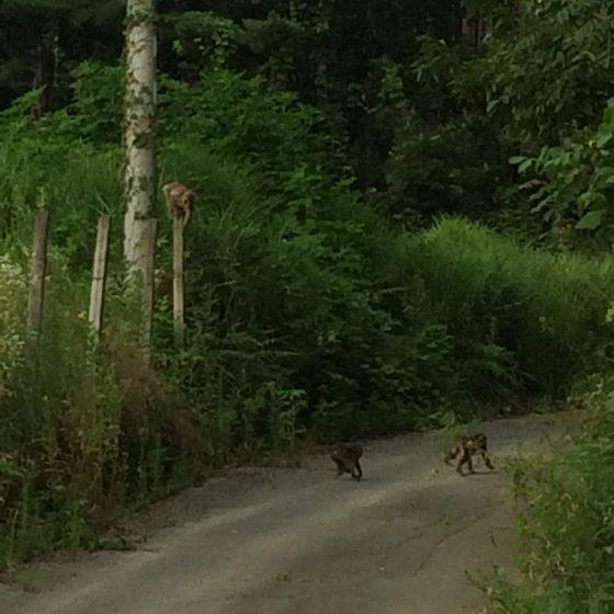 夕刻:りんごを持った野生のサルの親子が隣接する農道を横断していました(7/26)