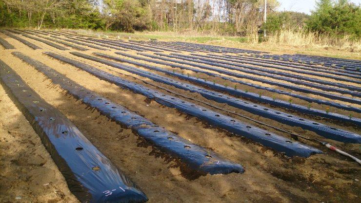 植え付け後の圃場