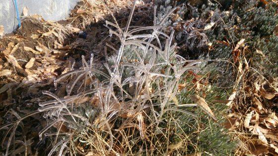 メヒシバが凍ると美しい~