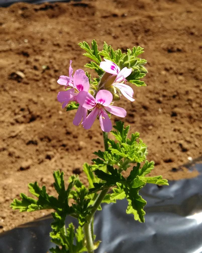 ピンクの花をつけたローズゼラニウム