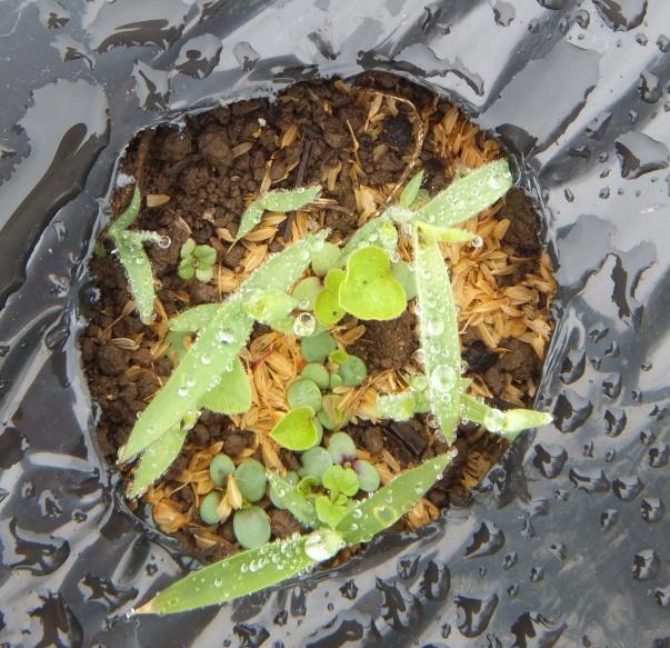 エキナセアの幼苗を取り囲む雑草