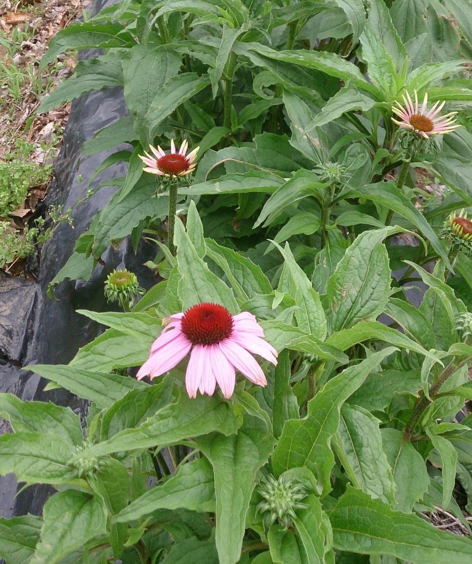 開花はじめの大きなエキナセア