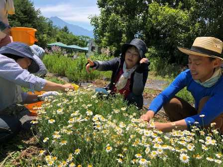 ローマンカモミール花摘み