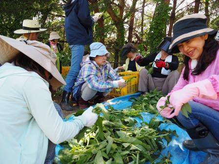 コンフリー葉の収穫・選別