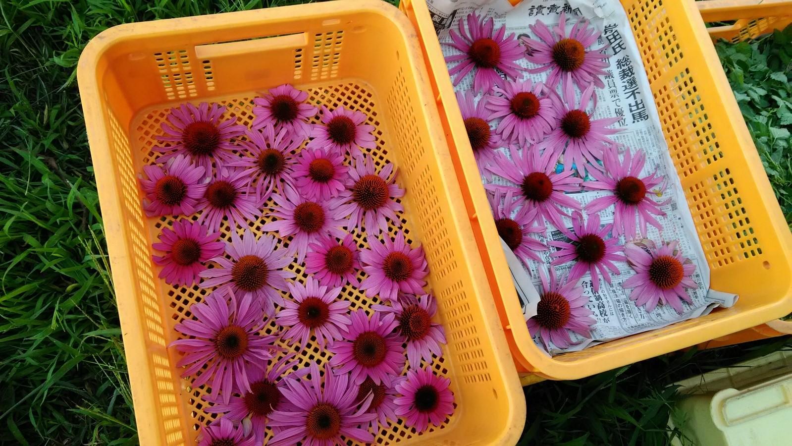ローズゼラニウム収穫、エキナセア1年生の大輪花