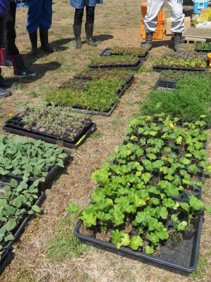今年育てた苗たちです。ちょうど植え頃サイズになりました。 育苗も農場スタッフが有機JAS管理に則って自家栽培でおこなっています。