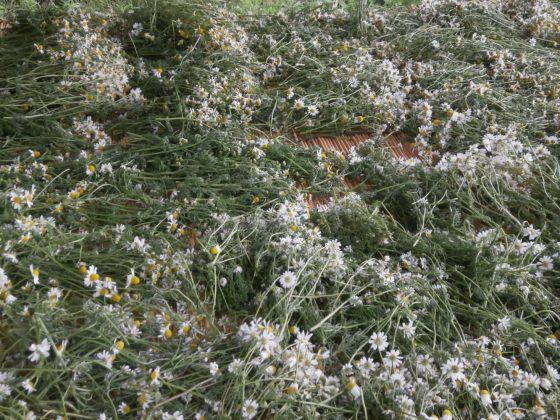 5/29 収穫したカモミール。風通しの良い日陰で蒸れるを防ぎます。
