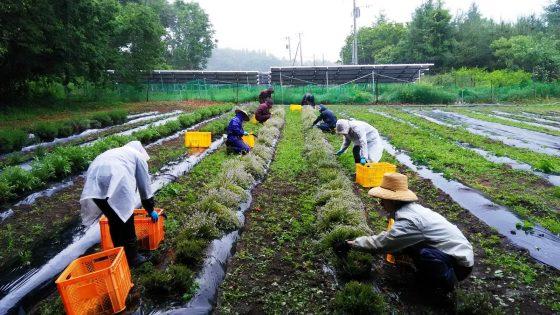6/7 タイムの収穫 農場のタイムは雨でも一面に香りが漂います
