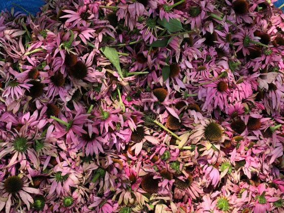 集められたエキナセア花