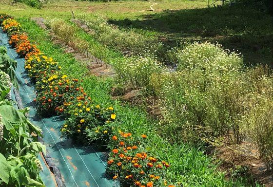 ジャーマンカモミールはまだ花が咲いています。(画像右側)