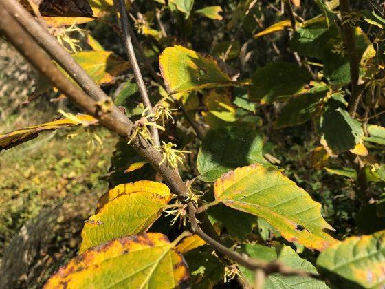 マンサクの仲間でハマメリスだけが唯一黄色い花を咲かせます。