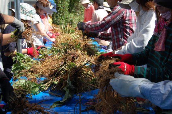 根塊から不要な茎を切り分けます。