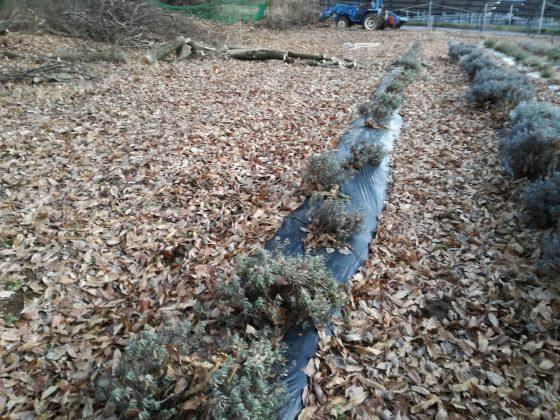 大量の落ち葉に覆われた第2圃場。伐採した樹木も埋まり気味です。