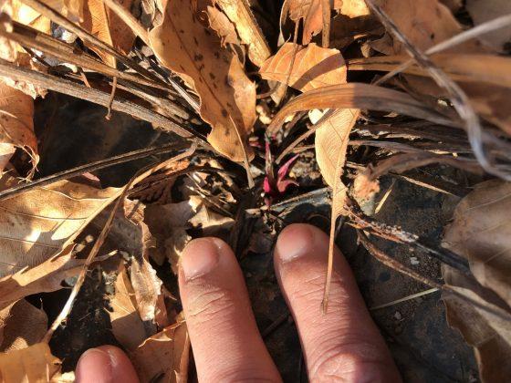 落ち葉の下で春を待つエキナセアの新芽