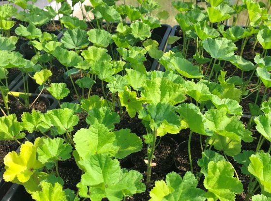 ゼニアオイは粘液質の多糖類を含み保湿作用に優れたハーブのひとつに数えられています。