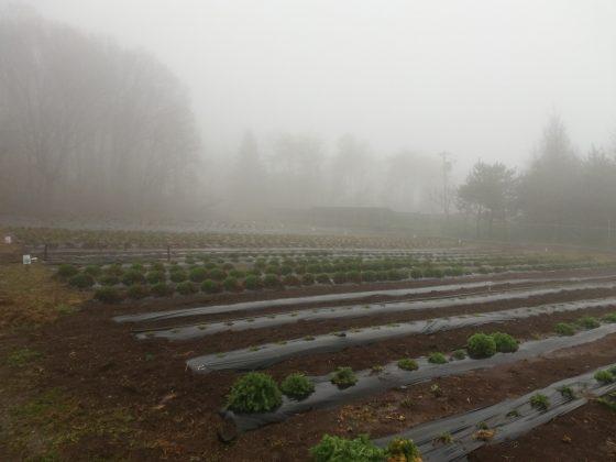 霧の中の第2圃場。 越冬したハーブは葉がこんもり茂っています。