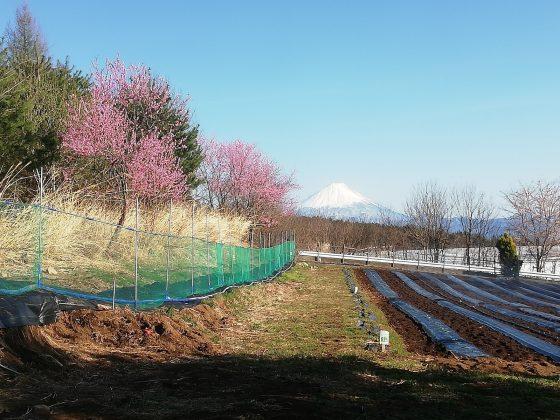 富士山はハナモモとともに