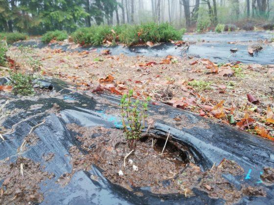 タイムです。一時大雨で植穴に水が溜まっていました。
