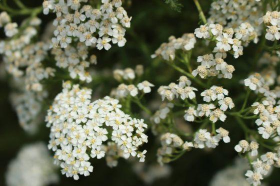 セイヨウノコギリソウ (Achillea millefolium)