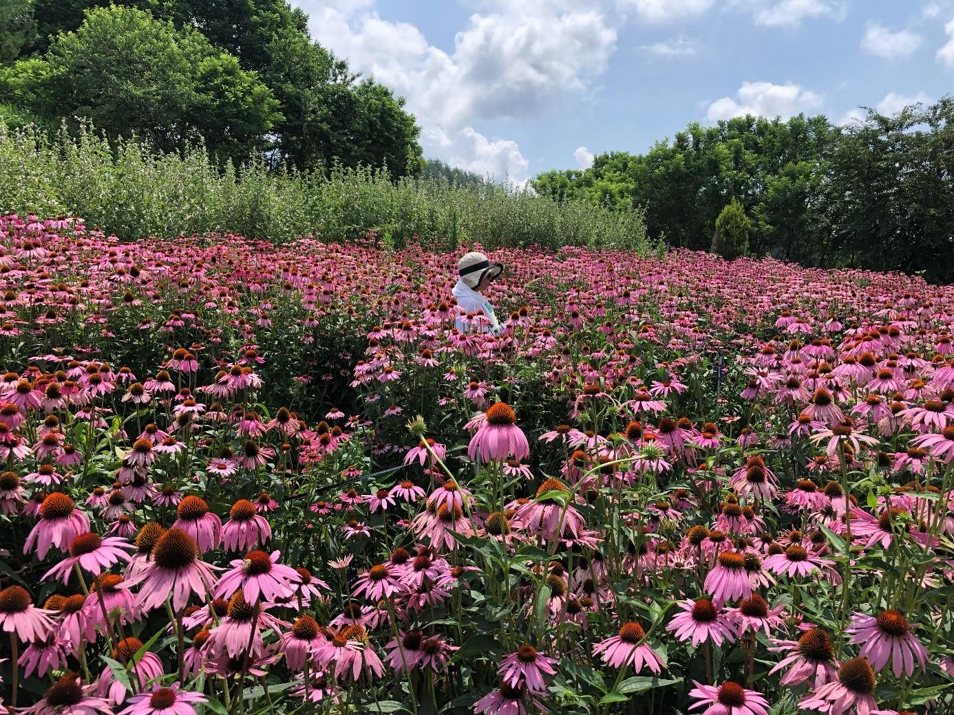 夏限定!一面に広がるエキナセアの花