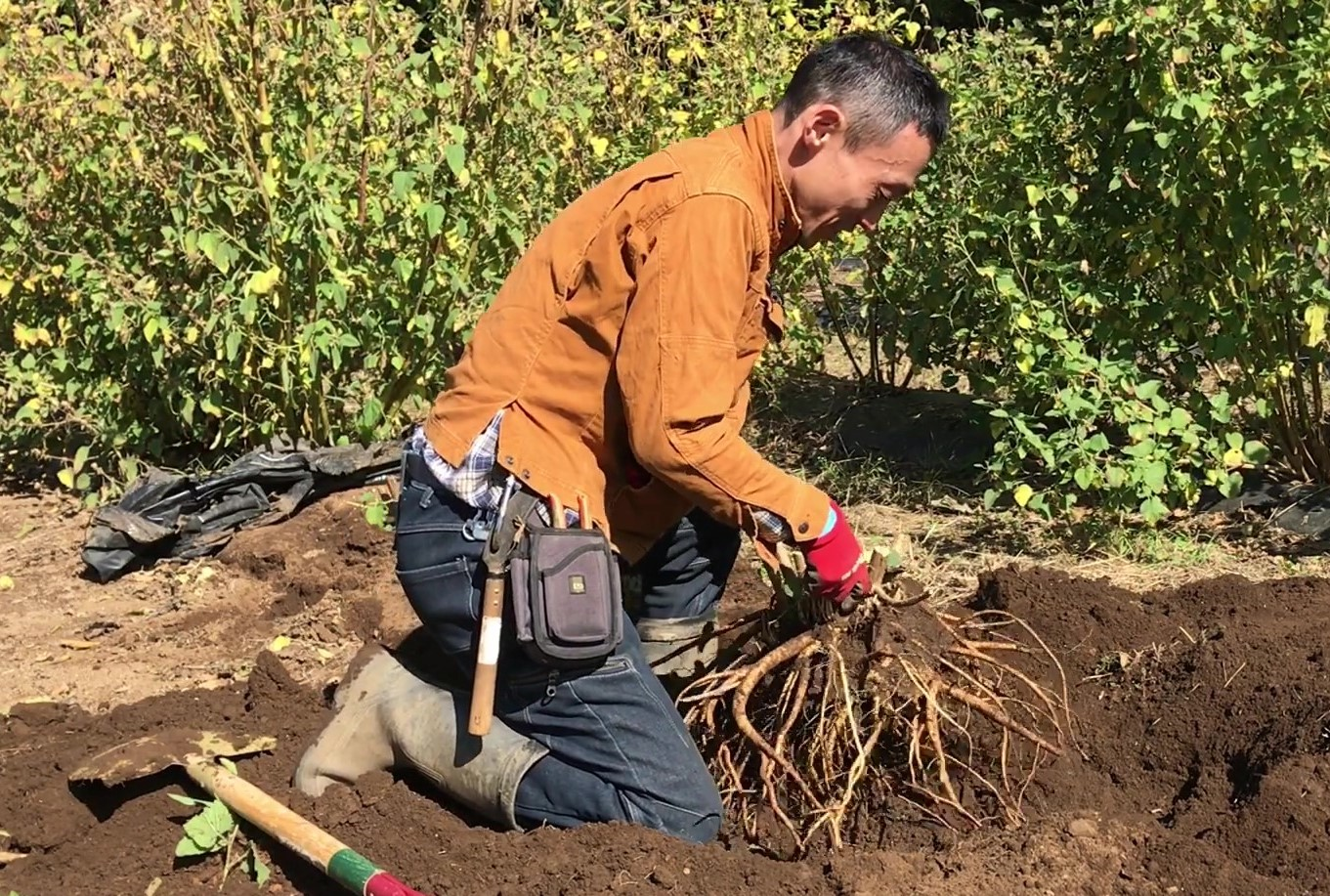 抜群の保湿力! アルテアの根を収穫しました